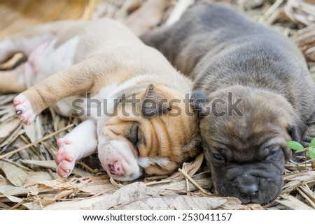 pit bull puppy dog sleeping on ground - stock photo