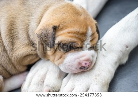 pit bull puppy dog sleeping on leg mom - stock photo
