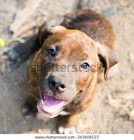 Pit Bull puppy sitting on ground - stock photo