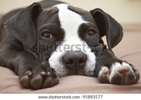 Pit Bull puppy with head between legs - stock photo