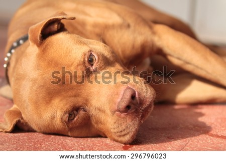 pit bull red Nose At rest - stock photo