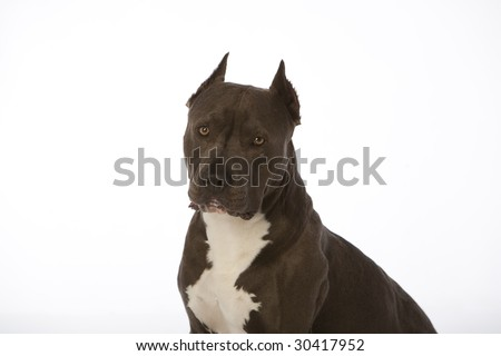 pit bull with tongue out on white - stock photo