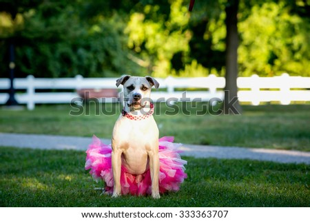 Pitbull dog dressed up in a tutu for cancer awareness.  - stock photo