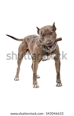 Pitbull gnaws the stick standing isolated on white background  - stock photo
