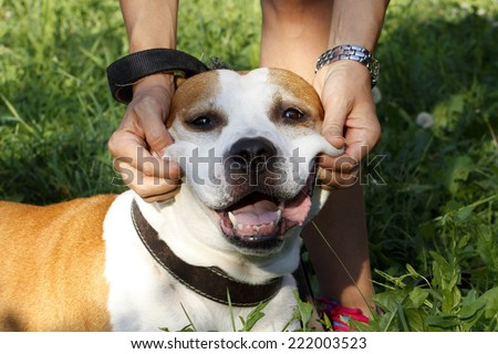 Pitbull - Staffordshire terrier smiling dog  - stock photo