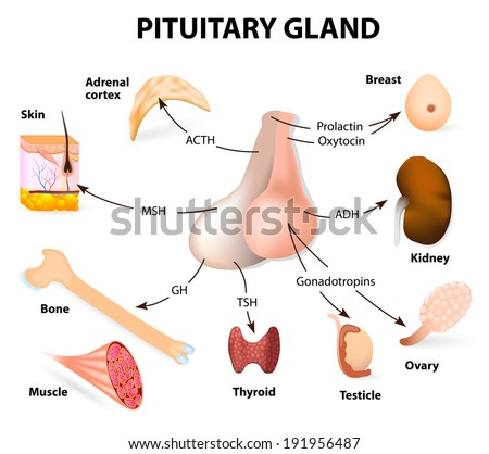 pituitary hormone functions. The two lobes, anterior and posterior, function as independent glands. - stock photo