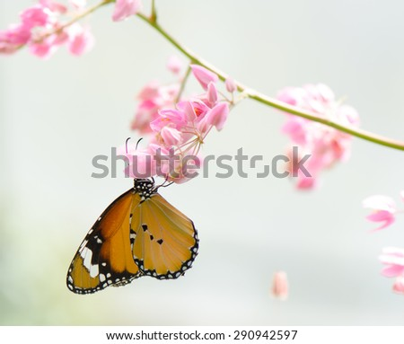 Plain tiger butterfly on Confederate vine, Coral vine, Mexican coral vine, Mexican creeper, Queen's jewels, Queen's wreath flowers, nature background. - stock photo