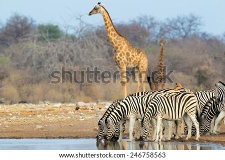 Plains (Burchells) zebras and giraffes at a waterhole, Etosha National Park, Namibia  - stock photo
