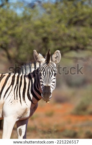 Plains  or Burchell's Zebra (Equus quagga) head and shoulders in a blurred natural setting, South Africa - stock photo