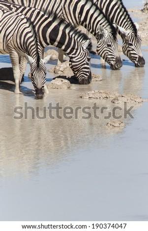 Plains Zebra Drinking in Etosha National Park, Namibia, Africa - stock photo