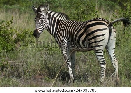 Plains Zebra, Equus quagga, about to defecate in the Kruger National Park, South Africa. - stock photo