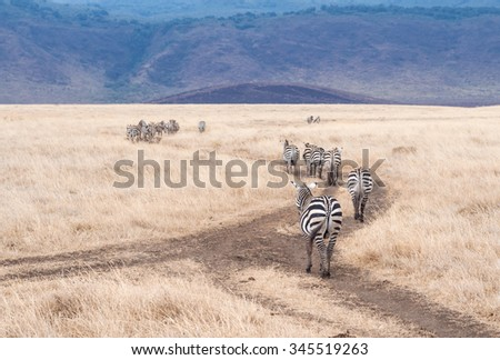 Plains Zebra (Equus quagga, also known as the common zebra or Burchell's zebra)  in Ngorongoro Crater in Tanzania, Africa. - stock photo