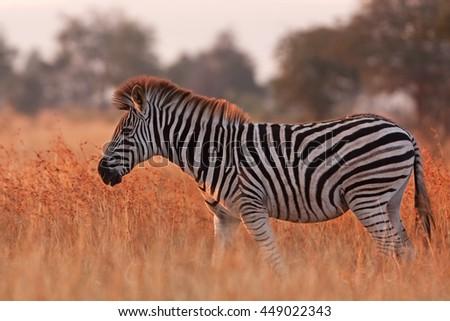 Plains zebra, Equus quagga, Equus burchellii, Kruger national park, South Africa - stock photo