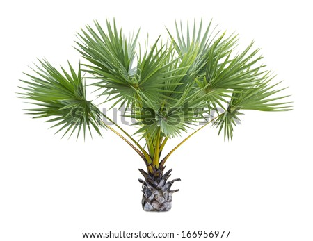 plam tree isolate on white - stock photo