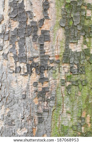 Plane tree colorful bark texture - stock photo