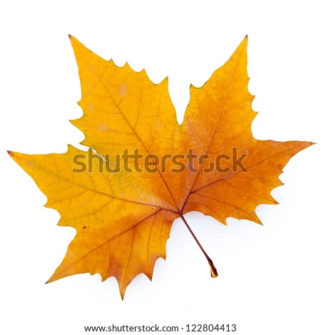 plane tree leaf isolated on white.(Keep path) - stock photo