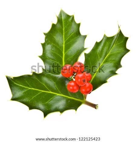 plant aquifolium - european holly ilex christmas decoration isolated on white background - stock photo