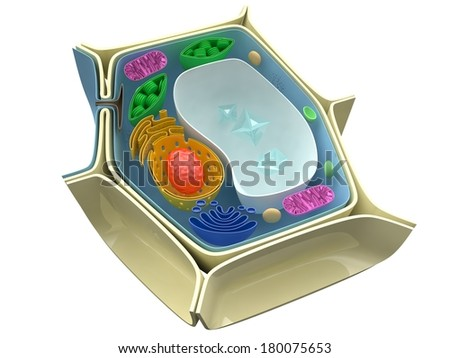 Plant cell structure - stock photo