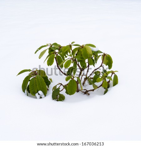 Plant covered in snow, rhododendron - stock photo