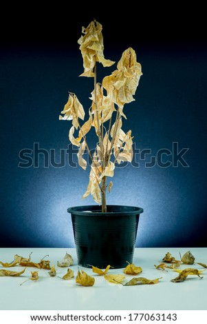 Plant : Dead plant with fallen wilted leaves (in flowerpot) - stock photo