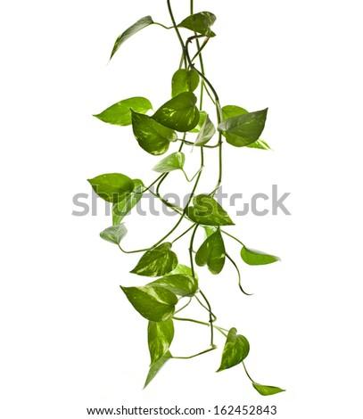 plant epipremnum scindapsus close up isolated on white background  - stock photo