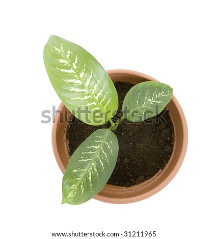 plant in  flower pot. Isolated on white background. - stock photo