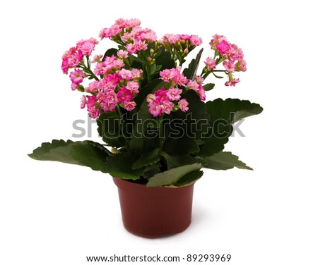 Plant in the pot with pink flowers idolated on white - stock photo