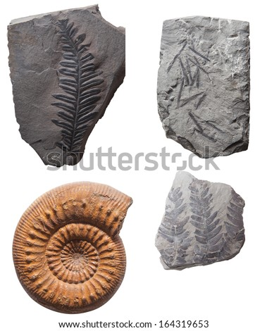 Plant Leaf fossil embedded in stone, ancient petrified shell, for oil & petroleum refinery industry, isolated on white background  - stock photo