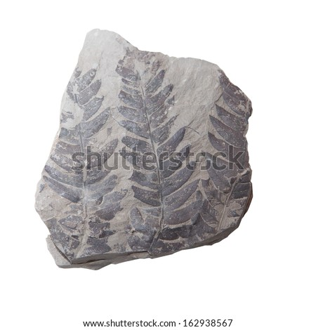 Plant Leaf fossil embedded in stone for Fuel, Oil & Petroleum,  isolated on white  - stock photo