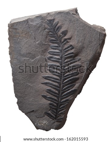Plant Leaf fossil embedded in stone, real ancient petrified shell isolated on white  - stock photo
