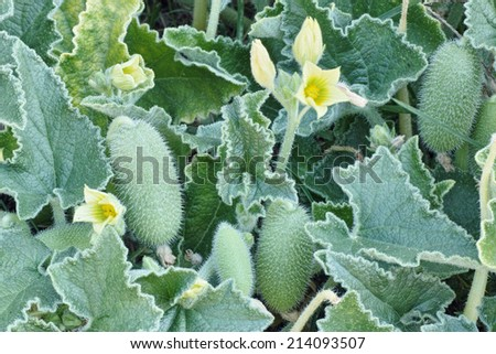 plant of squirting cucumber with flowers and fruits - stock photo