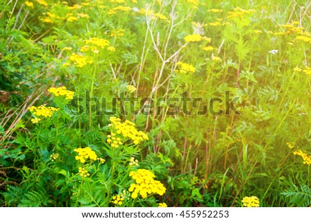 Plant of tansy (Tanacetum vulgare) - stock photo
