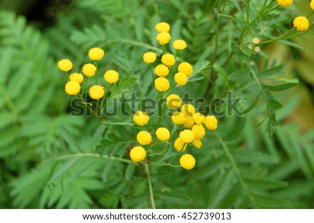 Plant of Tansy (Tanacetum vulgare, Common Tansy, Bitter Buttons, Cow Bitter, Mugwort, Golden Buttons) - stock photo