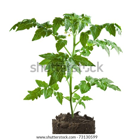 plant of tomato isolated on white background - stock photo