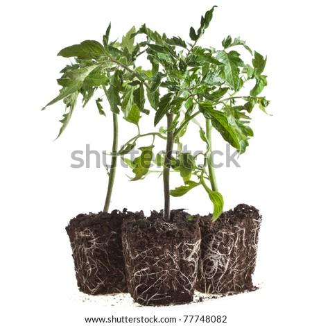 plant of tomato set isolated on white background - stock photo