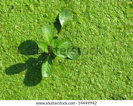 Plant protruding from green algae - stock photo