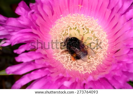Plant with colorful flowers and insect: yellow, purple and white with Bombus. Spring in Sardinia. Sardinia - stock photo