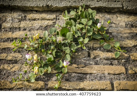 Plant with flowers of Capparis spinosa, caper bush, Flinders rose, growing on an ancient Roman wall in Rome. - stock photo