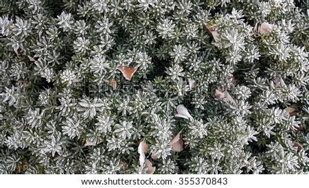 Plant with leaves covered with morning frost, Selective focus applied made some area blur. - stock photo