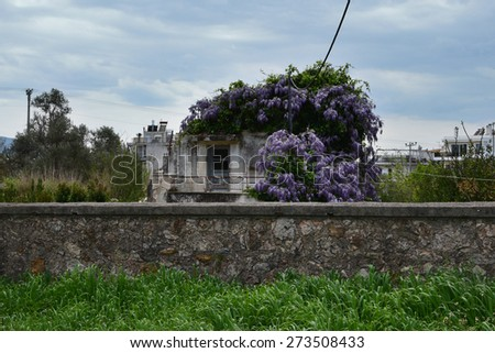 Plant with purple flowers growing on abandoned house. Stone wall and green grass under april sky. - stock photo