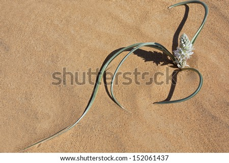 Plant with white petals in desert sand, Morocco. - stock photo