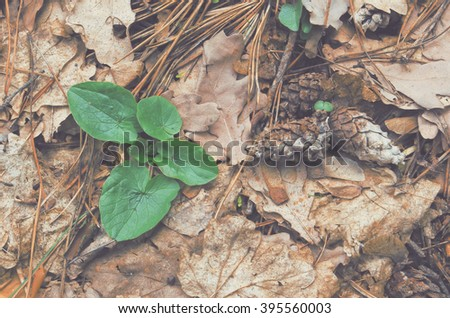 Plantain grows through old oak leaves next to the pine cones. - stock photo
