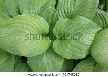 Plantain Lily (Hosta plantaginea) has elegant and attractive light green glossy foliage, shines bright in the springtime with rain on it's leaves. - stock photo
