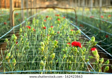 Plantation carnations. red flowers in the rays close-up at sunset time - stock photo