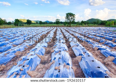 Plantation in the Mulch Plastic Film (Mulching). - stock photo