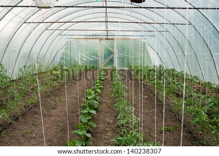 Plantation of cucumber and tomato in afarm green house - stock photo