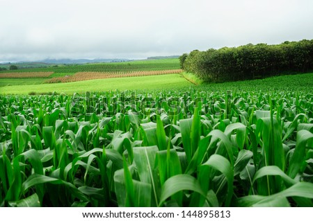 Plantation of Fodder Corn in Thailand - stock photo