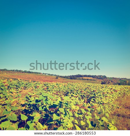 Plantation of Ripe Sunflower in Tuscany, Italy, Instagram Effect - stock photo