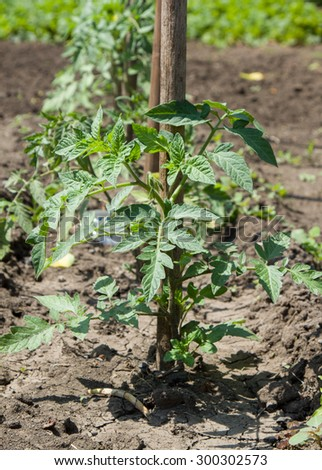 Plantation of saplings of tomatoes in garden - stock photo