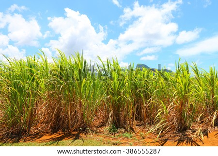 Plantation of sugar cane on Mauritius Island. Agriculture in tropical climate. Renewable energy source (biomass and ethyl alcohol - fuel or drink). - stock photo